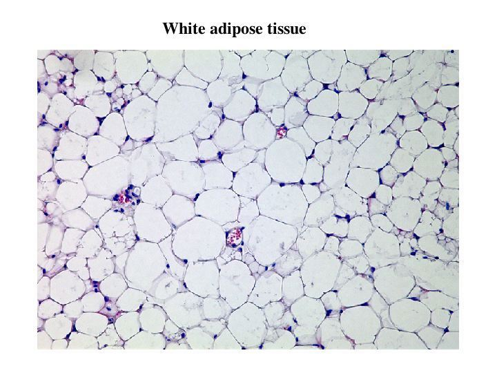 jameshanleybiol3500: Adipose Tissue