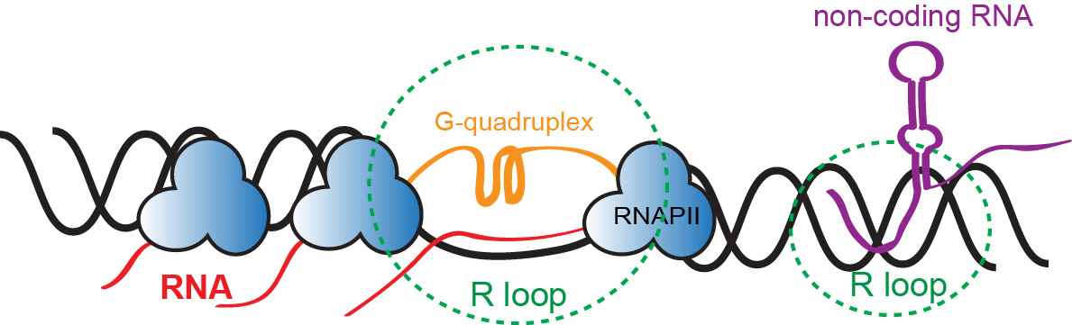 Figure 4. R-loop structure and formation