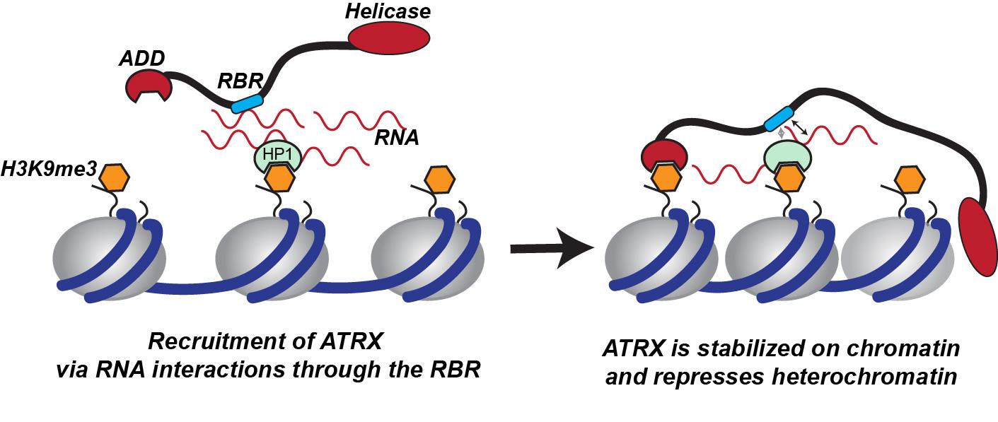 Figure 3. Model for RNA dependent ATRX targeting to heterochromatin