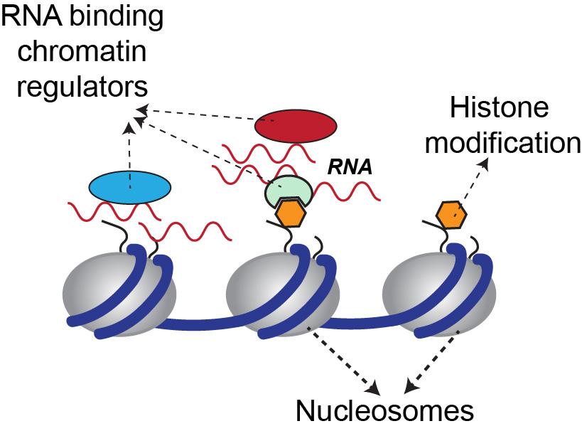 Figure 1. Chromatin composition in eukaryotes