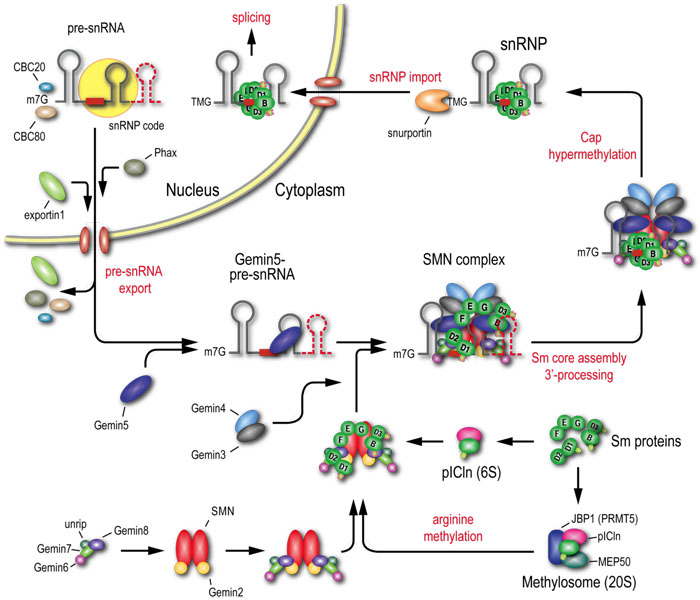 Smn Complex Proteins